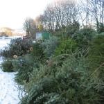 090110_Weihnachtsbäume einsammeln_016